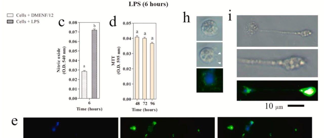 【论文解读】尼罗罗非鱼小胶质细胞产生胞外诱捕网应对魏斯氏菌的感染